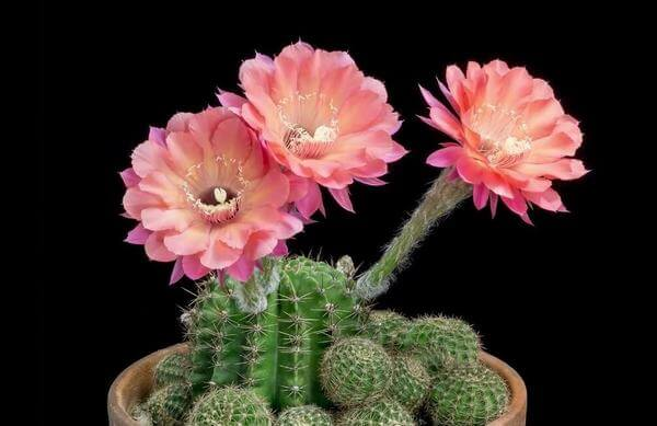 Cactus flowers - the strength, the will to rise - Pictures of the world's most beautiful birthday flowers, unique meaning